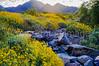Morning sun on brittle bush