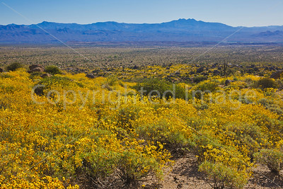 Brittlebush carpet and Four Peaks