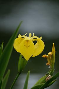 Yellow Tri Colour