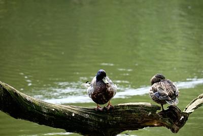High Rise Ducks