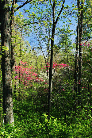 Dogwood and Redbuds; St. Charles, Missouri