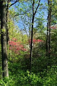 Dogwood and Redbuds; St. Charles, Missouri