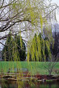 Weeping Willow, Cox Arboretum. March 28, 2009.