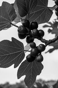 English figs