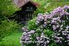 Old Barn and Lilacs, Mason County, Michigan