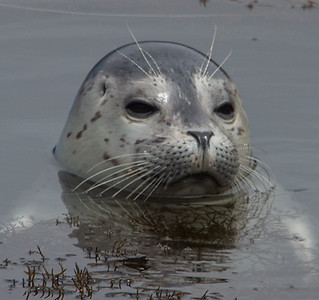 Harbor Seal Pup IV