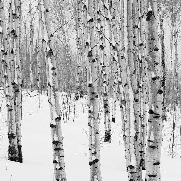 Winter Aspens3