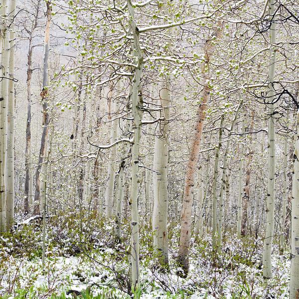 Snow Greens