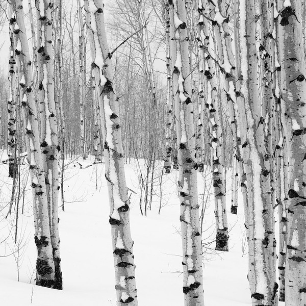 Winter Aspens 2