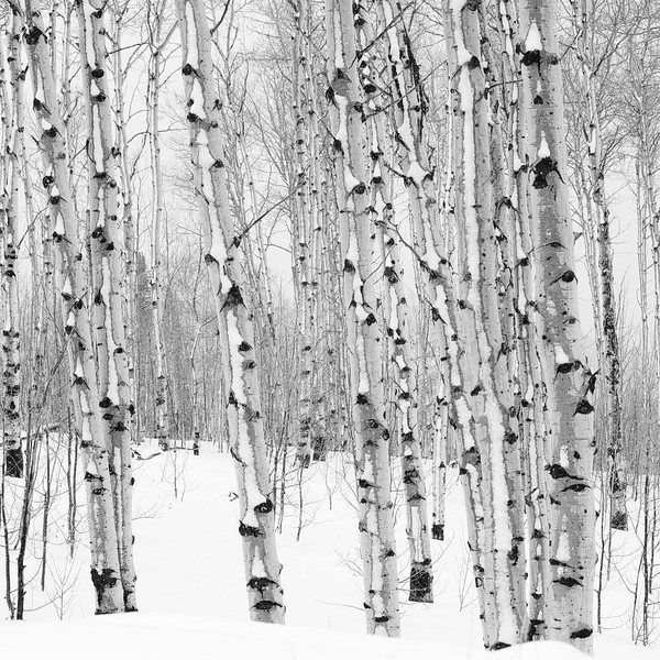 Winter Aspens1