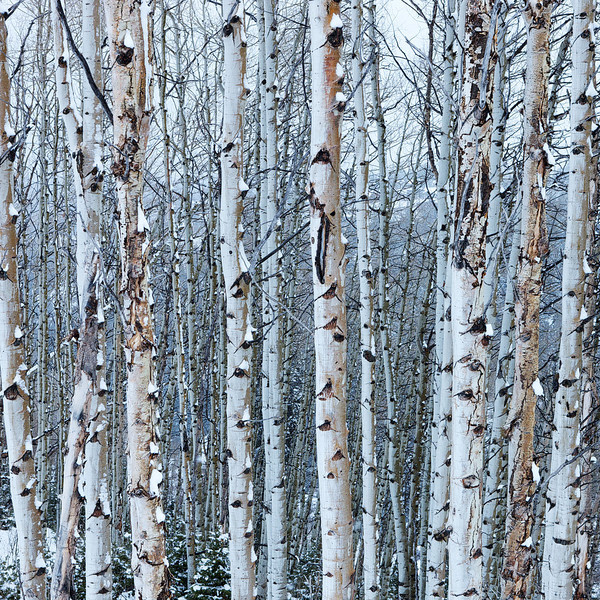 Deer Valley Snowy Aspens
