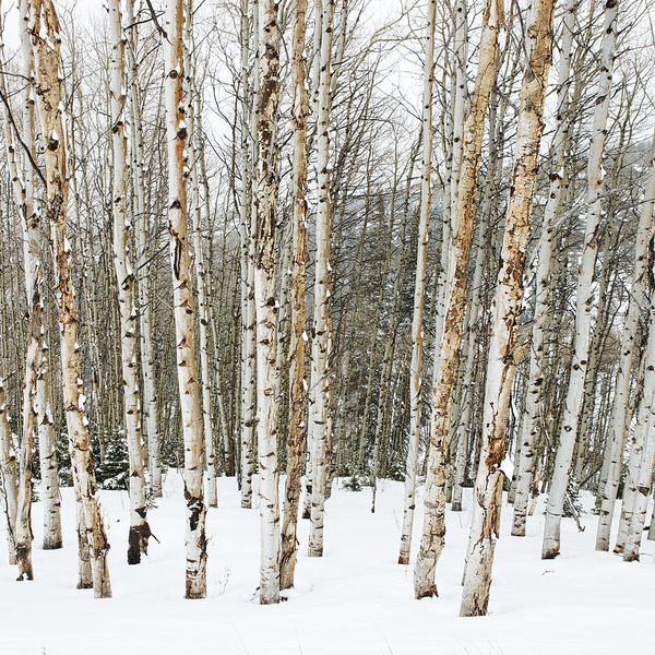 Deer Valley Snowy Aspens2