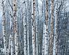 Deer Valley Snowy Aspens