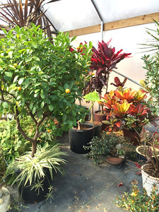 I'm very proud of Stephen's ability to keep our many tropicals in great shape over the winter months.