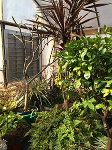 The green shrub on the right is our 40 year old Calamondin Orange Tree which has small oranges that make a marvelous marmelade.