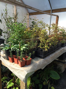 See the baby Arp Rosemaries in the orange pots?  So glad I rooted some this year.  Arp is pretty winter tolerant but not this year.  Stephen's green house has given us an opportunity many gardeners do not have.  Thank you Stephen for keeping my babies in such good shape.