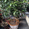 Laurel Nobilis officinalis the official culinary bay tree grown as a standard