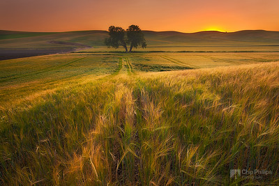 Palouse Wheat and Lone Tree at Sunset