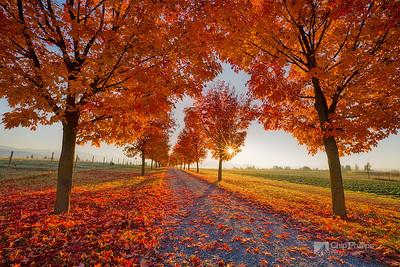 Tree Lined Road-Greenbluff