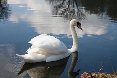 Swan at Stourhead Gardens, Wiltshire