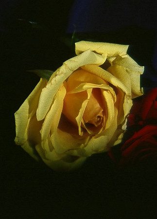 Studio Rose