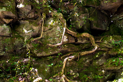 Tree roots outside of Stumphouse Tunnel