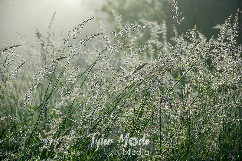 66  G Grass Dew