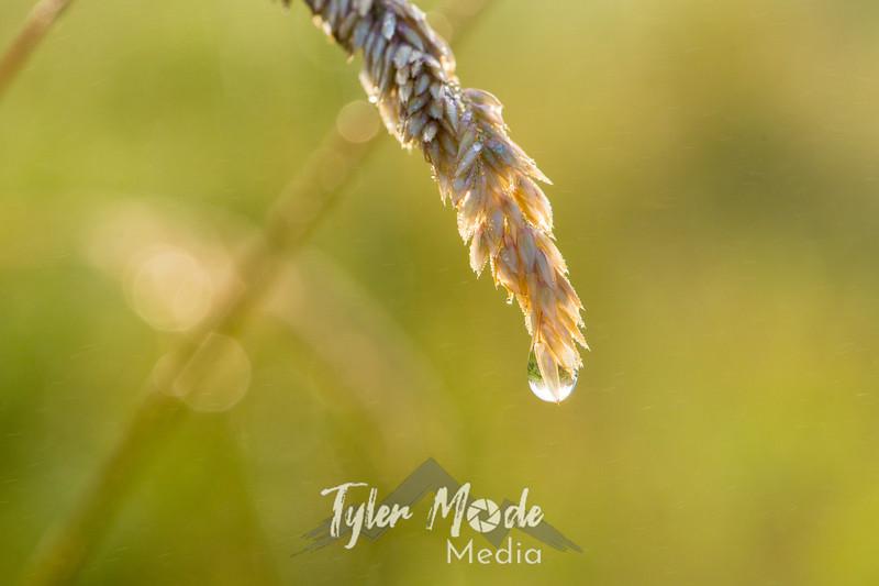35  G Grass Dew