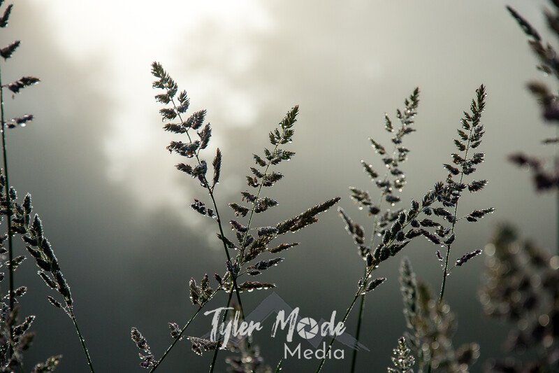 60  G Grass Dew