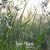 73  G Grass Dew