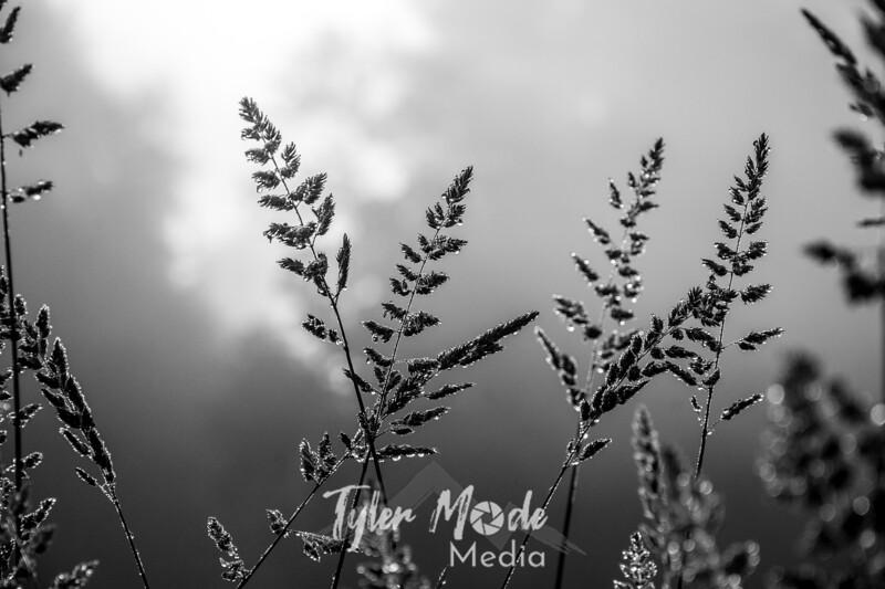 61  G Grass Dew BW