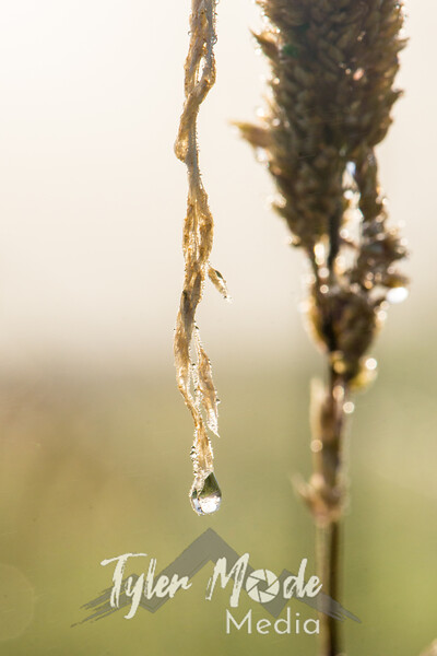 33  G Grass Dew V