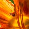 14  G Ladybug on Lily V