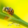 47  G Ladybug on Lily