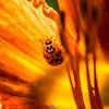 17  G Ladybug on Lily
