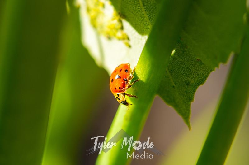 58  G Ladybug on Lily
