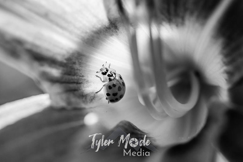 38  G Ladybug on Lily BW
