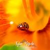 34  G Ladybug on Lily
