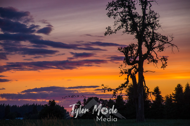 33  G Sunset Tree Geese