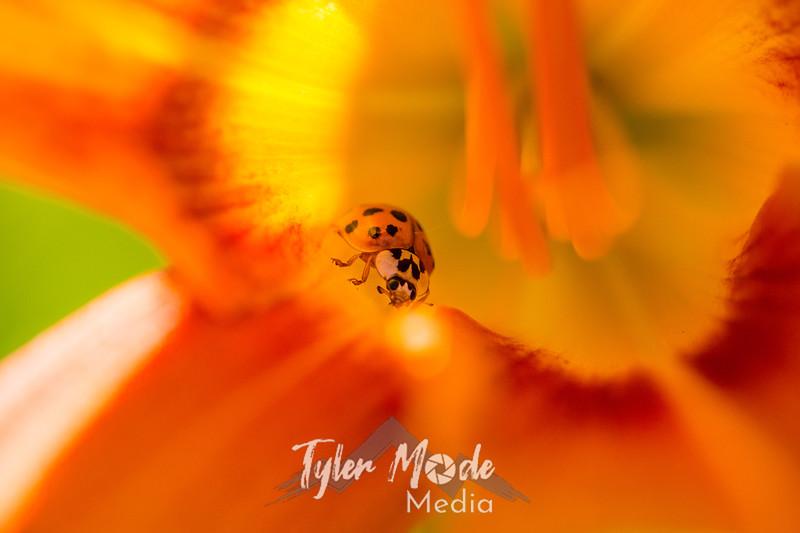 43  G Ladybug on Lily
