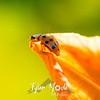 22  G Ladybug on Lily