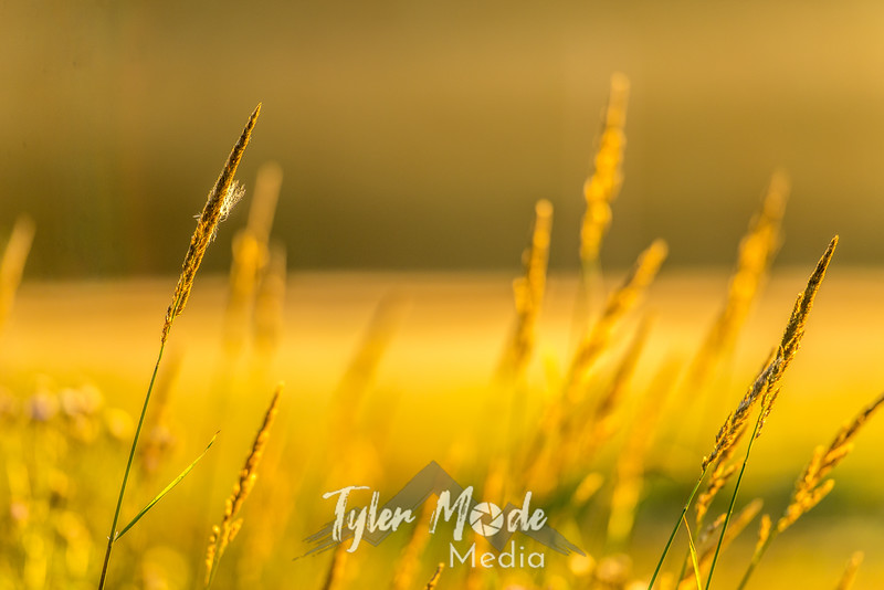 28  G Sunrise Mist Grass