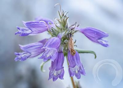 Purple Penstemon