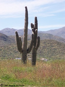 Cactus by Two