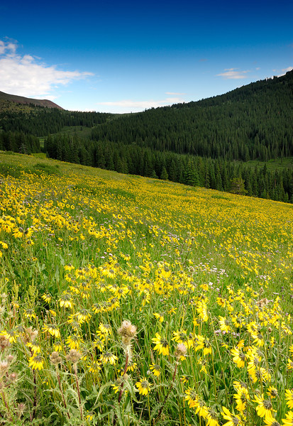 """Wild Flowers"" Boreas Pass, CO"