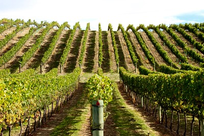 Pinot Noir Grape Vines