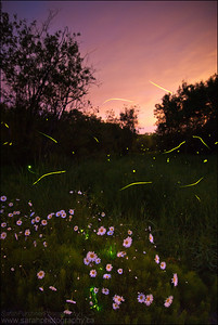 Long exposure fireflies. Sudbury, ON.
