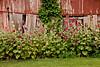 Hollyhocks by Machine Shed, Johnson County, Iowa