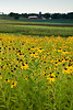 Field of Black-Eyed Susan and Distant Farm, Rock County, Wisconsin