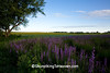 Field of Rough Blazing Star at Dawn, Rock County, Wisconsin